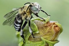 Amegilla quadrifasciata, Anthophoridae (dorolpi) Tags: