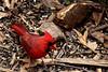 Male Cardinal (thatSandygirl) Tags: ohio northern cardinal bird red male mulch summer dawes arboretum newark june outdoors wildlife