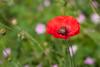 Yorkshire day (mrdatamx) Tags: southyorkshire yorkshireday yorkshire sheffield poppy minolta50mmf17 minolta50mm 50mm 50mmf17 notmacro flower bee sonyalpha sonyalphaa200 sonya200