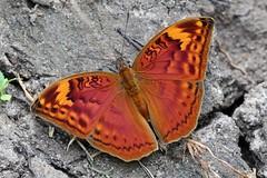 Butterfly (mgrimm82) Tags: papilionoidea tanzania taxonomy:kingdom=animalia animalia taxonomy:phylum=arthropoda arthropoda taxonomy:subphylum=hexapoda hexapoda taxonomy:class=insecta insecta taxonomy:subclass=pterygota pterygota taxonomy:order=lepidoptera lepidoptera taxonomy:superfamily=papilionoidea taxonomy:family=nymphalidae nymphalidae taxonomy:subfamily=limenitidinae limenitidinae taxonomy:tribe=adoliadini adoliadini taxonomy:genus=bebearia bebearia taxonomy:species=cocalia taxonomy:binomial=bebeariacocalia bebeariacocalia commonpalmforester taxonomy:common=commonpalmforester