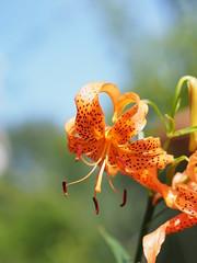 小鬼百合 (Polotaro) Tags: mzuikodigital45mmf18 flower nature olympus epm2 pen 花 自然 オリンパス ペン コオニユリ 7月 庭 garden