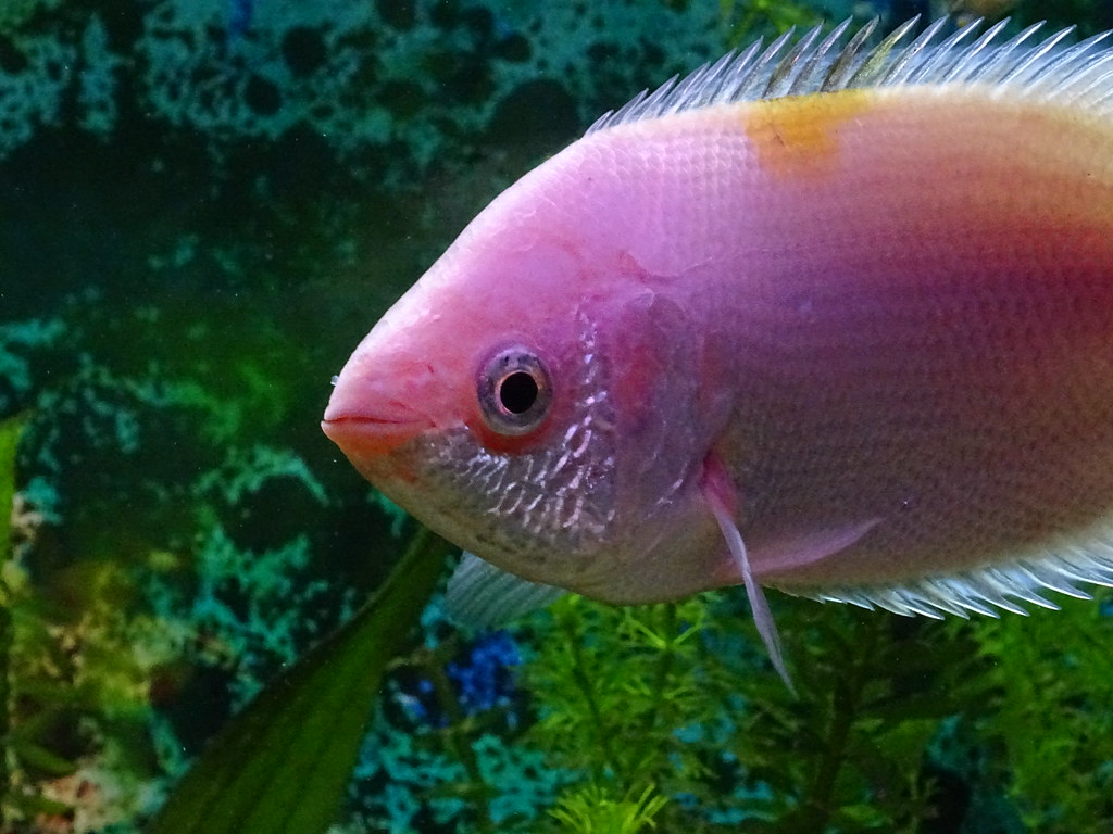 The world 39 s best photos of gourami flickr hive mind for Pink kissing fish