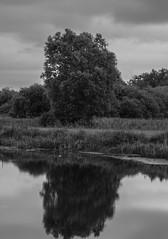 Tree Reflection (stefanfortuin) Tags: reflectie reflection netherlands nederland dutch friesland weststellingwerf lindevallei lindewijk helomapolder tree boom bos forest evening cloudy cloud outside buiten bnw bw black white water meer sloot stilleven