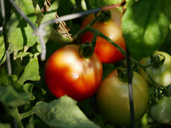 Red Tomato on the Vine (oldhiker111) Tags: tomato red vine panasonicg85