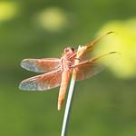 Orange Dragonfly thumbnail