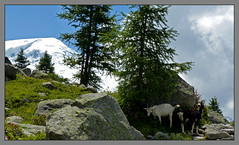 Des chèvres en balade (myvalleylil1) Tags: france alpes montagne mountain hautesavoie chamonix montblanc