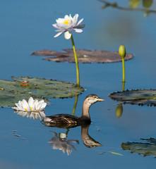 Australasian Grebe at Parry's Lagoon_3546 (Jen Crowley Photography) Tags: bird grebe australasiangrebe australasian wa westernaustralia australia nikon parryslagoon