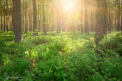Wilcza Wola - The pine Forest (Geoffrey Gilson) Tags: wilcza wola pine tree forest nature green golden hour sunburst sun light landscapes trees poland