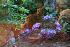 reflections (photos4dreams) Tags: p4d photos4dreamz photos4dreams photos chilli photo pics misschillipepper mainecoon female cat ginger red rot fluffy katze secretgarden