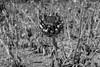 Dry and colonized artichoke flower (jaume 74) Tags: blackwhite bw dry flowers noiretblanche country blackandwhitephotografie blancoynegro field