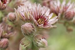 Fleur de Joubarbe (kerjoly) Tags: fleur flower joubarbe vert rose étamines flou