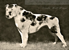 Creole Bull Hound (Creole Bulldog) (JoeyBoudreaux) Tags: hovawart boxer molosser pit bull creole bulldog bully terrier hound extinct apbt mastiff merle merlemovement dogo white english catahoula pattern coat extinction declined declining new modern breed circa 1800