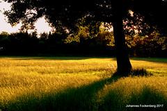 Sommerabend (grafenhans) Tags: sony alpha 700 alpha700 a700 minolta af 1750 baum gegenlicht sonnenuntergang sonne sommer schatten feld wiese grafenwald bottrop