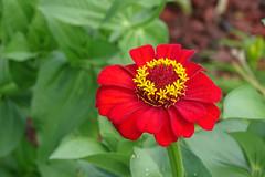 DSC01712 (gregnboutz) Tags: flower bloomingflower flowers bloomingflowers brightflowers colorfulflower colorfulflowers gardenflowers macro macros colorfulmacro colorfulmacros macroflower macroflowers