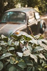 hiding in the bushes (Burak Kebapci) Tags: cat beetle street city life urban nature sleep sleepy relax chill istanbul turkey tr bokeh dof cr car