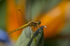 Erythrodiplax abjecta (Rambur, 1842) ♀️ (PriscillaBurcher) Tags: erythrodiplaxabjecta erythrodiplax odonata dragonfly dragonflies dragonlet skimmer libélula libellulidae laceja colombia priscillaburcher l1320295