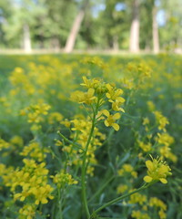 Creeping Yellow Cress (Anita363) Tags: creepingyellowcress cress rorippasylvestris rorippa brassicaceae nonnative yellow 4petals wfgna johnsonpark highlandpark nj newjersey july