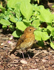July Robin (ekaterina alexander) Tags: july robin juvenile young ekaterina england alexander sussex wild nature photography pictures bird