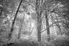 More Forest Magic (zenseas) Tags: ir infrared monochrome blackandwhite digitalinfrared forest tree trees path trail hike hiking walk walking seattle washington pacificnorthwest summer discoverypark park leaves leave magic magical soft bw