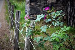 HFF 32 (Harry McGregor) Tags: fencedfriday fence hff 13 2017 july harrymcgregor nikon d3300 wire thorns flowers inverdruie highlands scotland