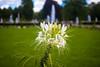 Flowers in the Lustgarten, Park Sanssouci, Potsdam (Andy Hay) Tags: 2017 flower germany lightroom lustgarten park parksanssouci potsdam sanssouci brandenburg de