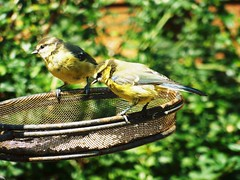 Two and Blue ... ☺ (Tricia in Kent UK ....☺) Tags: twoandblue blue birds garden birdbath sunflowerhearts freshwater sunny showery cool weather veryhot spain outdoors bluetits