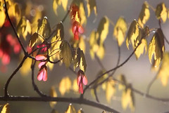 Afternoon leafs (kurnmit) Tags: autumnleafs nature twigs bokeh haze