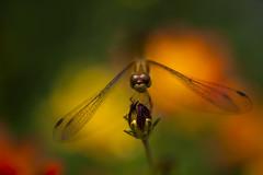 Dragonfly attitude... (Little Alaska) Tags: