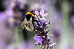 Garden Bumblebee (cvtperson) Tags: garden bumblebee