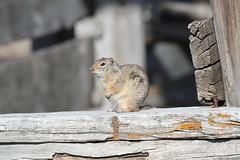 Uinta ground squirrel (Urocitellus armatus) (TG23-Birding in a Box) Tags: uintagroundsquirrel urocitellusarmatus groundsquirrel squirrel whistlepig grandtetonnationalpark wyoming