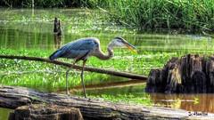 Great Blue Heron (Suzanham) Tags: greatblueheron heron bird swamp swampy summer nature wildlife log perching fishing mississippi noxubeenationalwildliferefuge canonpowershotsx60hs wadingbird aquaticbird fantasticnature