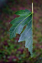 One Half Maple Leaf (A Tiny Break From The Rain) Tags: theflickrlounge wk29 half leaf maple