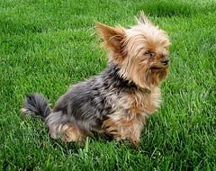 Freddy, Always on Duty (merripat) Tags: dog freddy yorkie yorkshire terrier yorkshireterrier onduty alert miniature miniatureyorkie miniatureyorkshireterrier