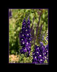 Rittersporn (Dirk Marx) Tags: tulpen narzissen dahlien rittersporn landesgartenschau badlippspringe natur blüten blumen pflanzen