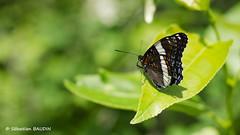 L'Amiral (Seb BAUDIN) Tags: nature canada québec gaspésie papillon d7000 amiral 50mm