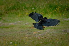 Chough wingspread (Andrew Bloomfield Photography) Tags: andrewbloomfieldphotography bird location outdoor photograph uk wwwandrewbloomfieldphotographycouk chough