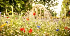 Middleton in Teesdale . (wayman2011) Tags: canon5d lightroom wayman2011 flowers flora colour rural pennines dales teesdale middletoninteesdale countydurham uk