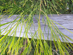 Hidden fence (jo.elphick) Tags: fishermansparadise nsw australia fence tree austaliannativetree greenleaves
