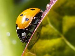 Ladybug on lettuce leaf after rain (piranhabros) Tags: lettuce garden leaf macro macrophotography wet bokeh ladybug animal insect bug