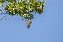YELLOW-BILLED CUCKOO (nsxbirder) Tags: yellowbilledcuckoo coccyzusamericanus flight oxford ohio huestonwoodsstatepark