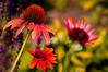 garden of flowers (mariola aga) Tags: summer autumn garden park flowers bokeh dof coneflower