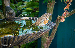 Taking a dip? (Raginmund) Tags: robin garden bird wildlife birdbath nature