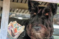 -20170728 Crazy Cat 7-Edit (Laurie2123) Tags: ddc dailydogchallenge fujixt2 laurieturnerphotography laurietakespics maggie missmaggie scottishterrier backyard blackscottishterrier blackdog home laurie2123 scottie