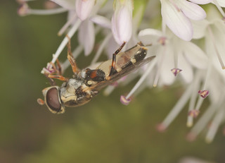 Hoverfly EF7A6118