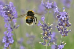 Levitating in Lavender..... (markwilkins64) Tags: bee lavender nature flowers levitate black yellow greatshotss