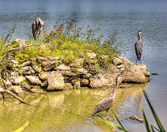 Hunting & Preening (beelzebub2011) Tags: canada britishcolumbia vancouver burnaby stanleypark birds heron lostlagoon hdr