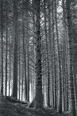 Naturally barcoded, Dartmoor. (Sean Hartwell Photography) Tags: gidleigh chagford dartmoor nationalpark trees forest wood plantation conifers landscape blackandwhite monochrome england