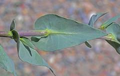 CAD0010499a (jerryoldenettel) Tags: 170420 2017 bistiwilderness brassicaceae brassicales denazinwilderness durangotumblemustard nm rosids sanjuanco thelypodiopsis thelypodiopsisaurea tumblemustard wildflower flower mustard