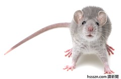 a cute little mouse (jennchenn!) Tags: rat mouse animal whitebackground pest rodent isolated warfare bait hairy mammal paw tail pollution nibbled sniff shot isolation head studio infection gray portrait cute grey small funny up look close ugly lovely furry background back domestic bread smell pet food rodentcontrol nose diseases viruses bacteria czechrepublic