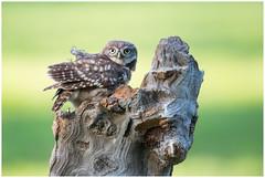 Little owl (juvenile) - Steenuil (juveniel) (Athene noctua) .... (Martha de Jong-Lantink) Tags: 2017 athenenoctua belgië fotohut fotohutglennvermeerschkalmthout glennvermeersch kalmthout littleowl steenuil steenuiltje steenuiltjes vogelhut4
